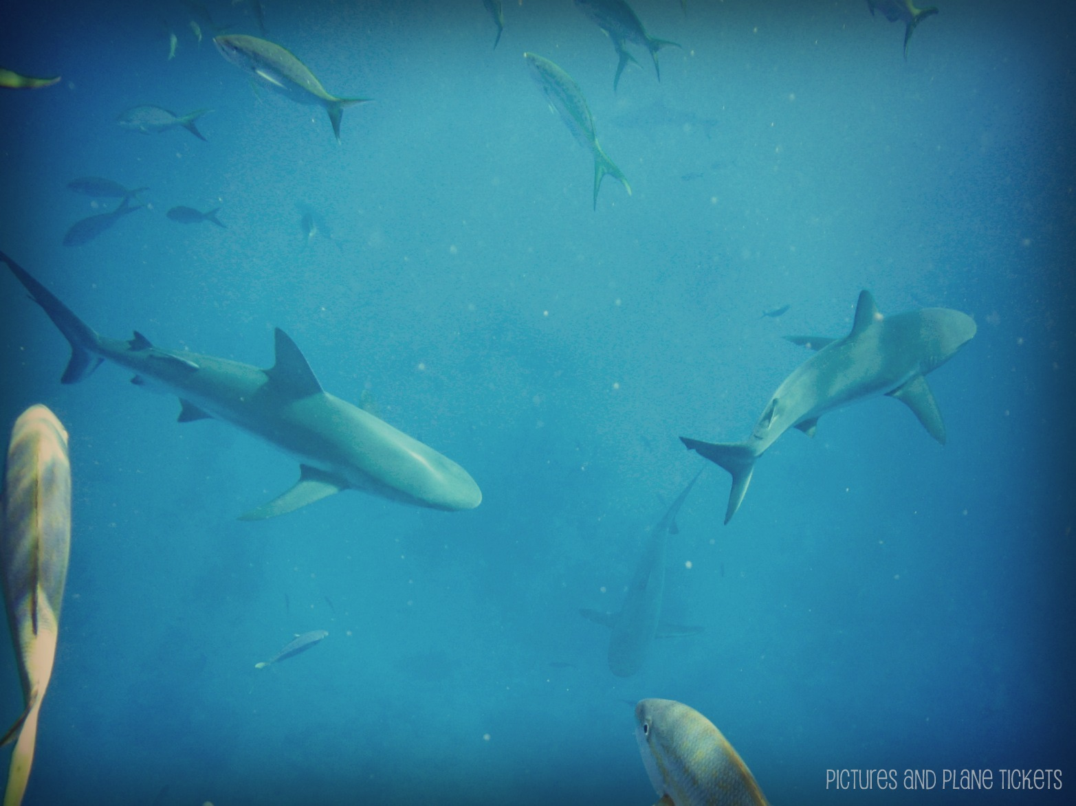 Swimming with Sharks off New Providence Island