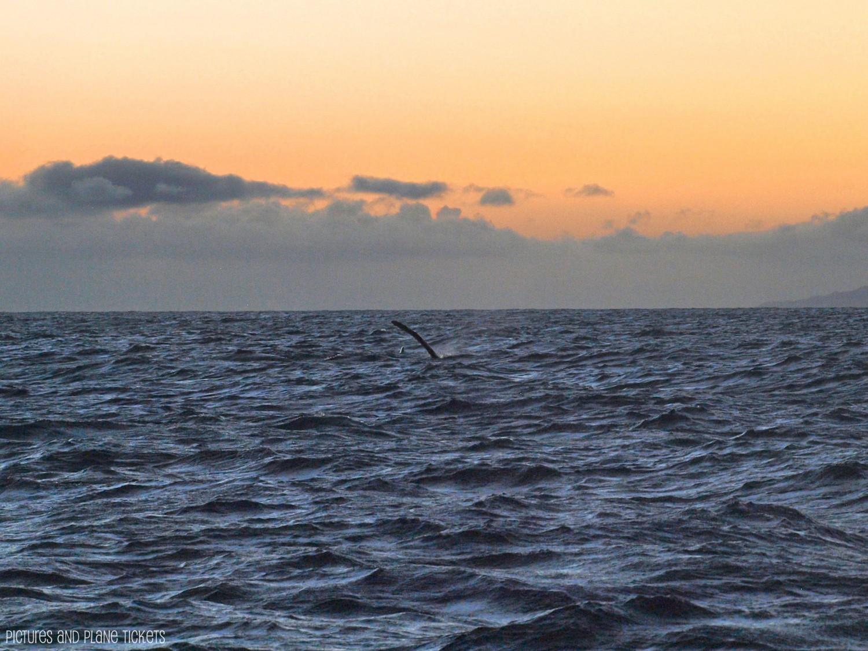 Kauai Whale