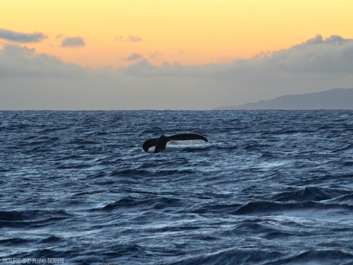 Kauai Humpback Whale