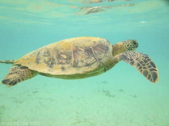 Turtles at 'Anini